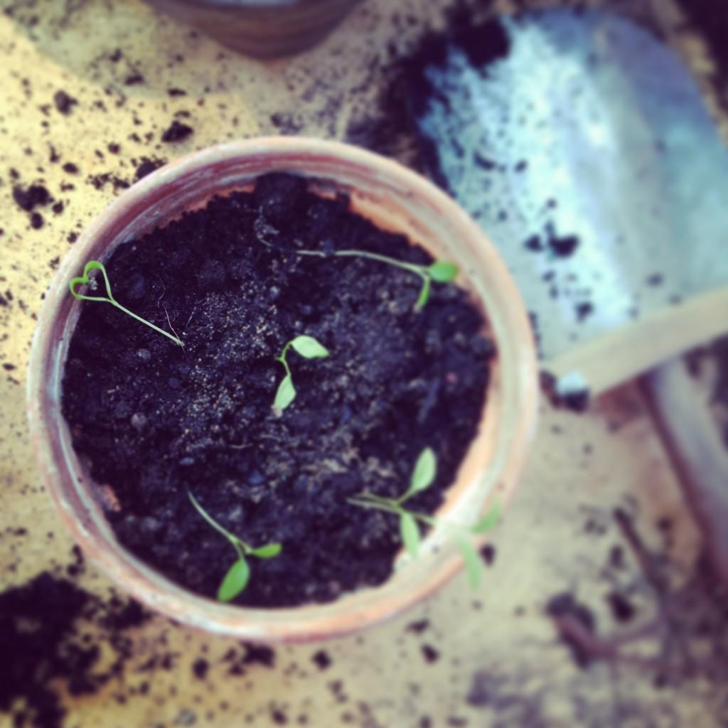 Sprirande trädgårdspassion